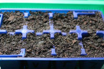 Capsicum-seeds-planted