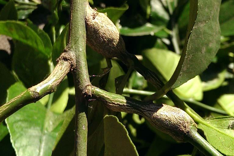 citrus-gall-wasp-lumps