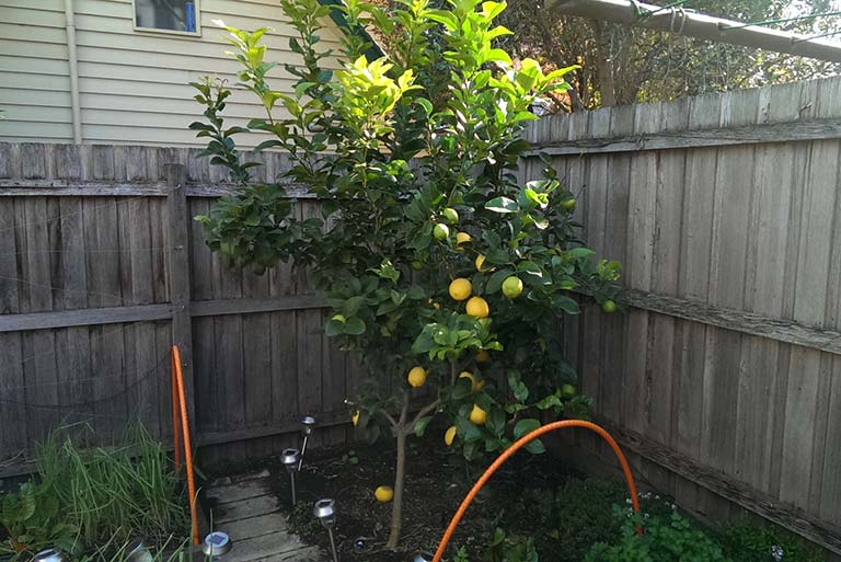 lemon-tree-august-2016
