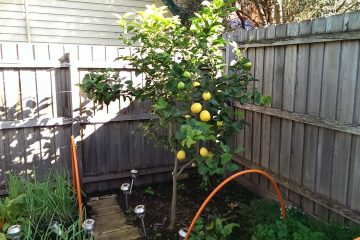 lemon-tree-trimmed