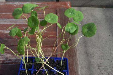 nasturtium-seedlings