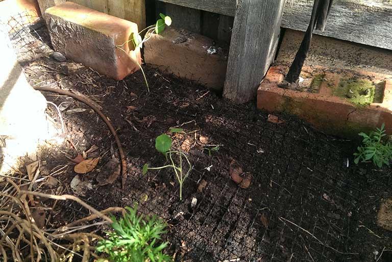 nasturtiums-planted