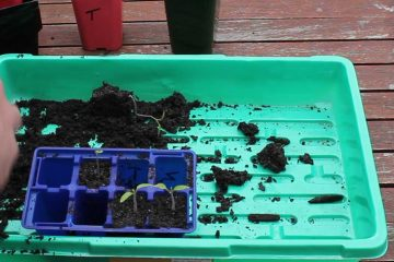 tomato-transplant-bkground