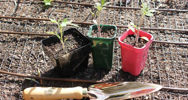 tomatos-ready-for-planting