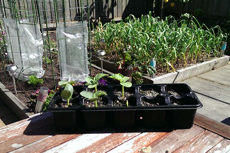 cucumbers-ready-to-be-planted