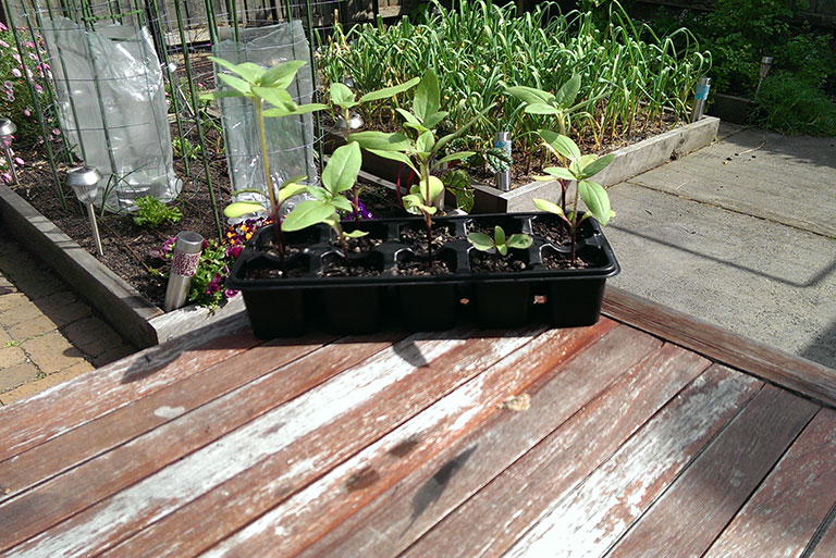garnet-sunflowers-ready-to-plant