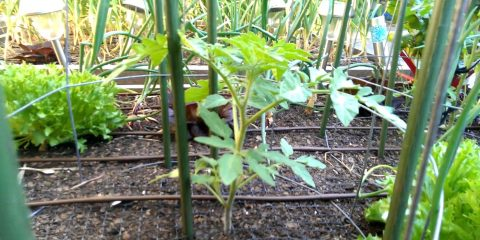 tomato-plant-20-10-16