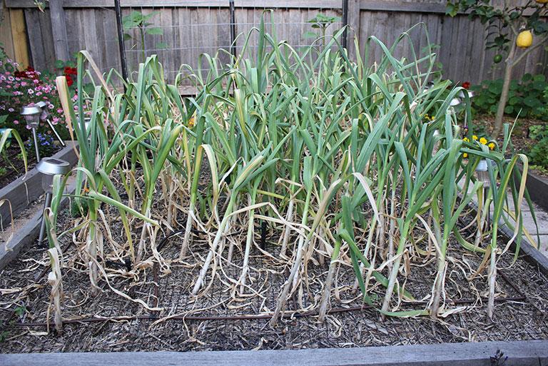 garlic-browning-off