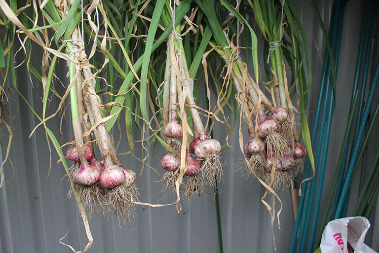 garlic-hanging-in-shed-2