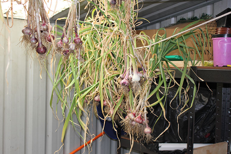 garlic-hanging-in-shed