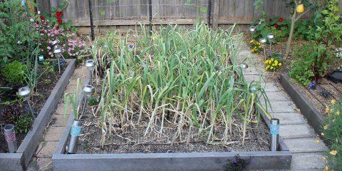 garlic-ready-for-hervest-back