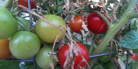 ripening-tomatos-23-febuary-2017