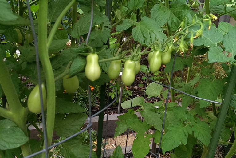 truss-of-green-tomatos